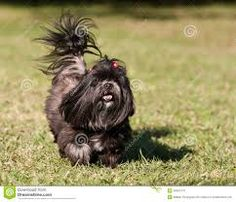 Irregular Heartbeat in Dogs Boxer Puppies, Dogs And Puppies, Boxer Mix, Doggies, Dog Breeds Pictures, Westminster Dog Show, Akc Breeds, Australian Labradoodle, Lhasa Apso