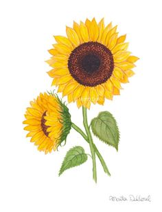 Sunflower art.  Sunflower watercolor painting. by MartaDalloul