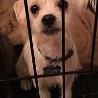 Coldwater, Michigan - Shih Tzu. Meet Edison, a for adoption. https://www.adoptapet.com/pet/19961379-coldwater-michigan-shih-tzu-mix