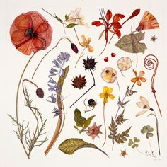 Hannah's Poppy botanical print by Rachel Pedder-Smith - These can be purchased from Kew Gardens.