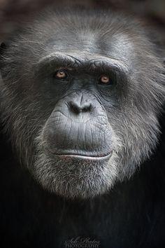 Chimpanzee by Seb-Photos.deviantart.com