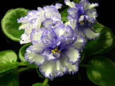 African-Violet-Leaves-LYONS-SPECTACULAR-Large