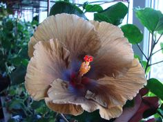 Moorea Hot Charley Hibiscus