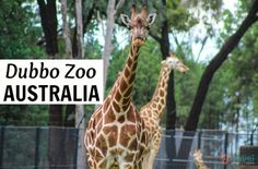 Visit Dubbo Zoo in NSW, Australia for a real African safari experience