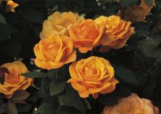 """""""Good As Gold"""" Hybrid Tea Rose - New for 2014 from Weeks Roses."""