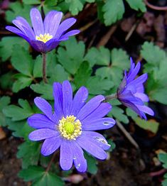 Anemone blanda (common names Balkan Grecian windflower or winter windflower). Order: Ranunculales Family: Ranunculaceae Genus: Anemone Species: A. Plants That Love Shade, Shade Plants, Winter Plants, Winter Garden, Lavender Flowers, Blue Flowers, Shade Garden, Garden Plants, Flower Bed Designs
