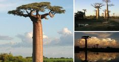 El árbol de la película El Rey León existe, aunque es el más raro del Planeta