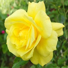 Friesia Yellow Rose