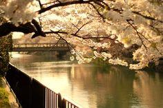 cherry blossom lake - Google 검색