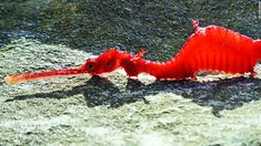 Ruby seadragon filmed for the first time - CNN Video