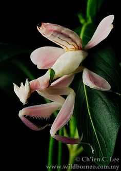 Pink orchid praying mantis, Borneo. Incredible camouflage