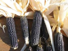 Blue Hopi Corn is a dark blue, almost black variety of corn-ancient heirloom from the Hopi Native Americans, to whom it was a staple food for thousands of years.