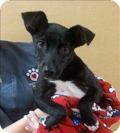 Birmingham, AL - Labrador Retriever/Terrier (Unknown Type, Medium) Mix. Meet Kyan Lukas a Puppy for Adoption.
