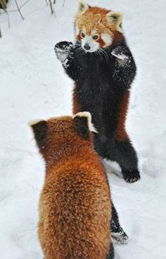 It may be cold outside but these hilarious images of the real 'Kung Fu' Red Pandas enjoying some playtime