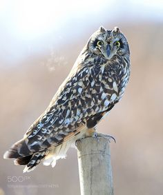 Short-eared Owl by ysbae491 and like OMG! get some yourself some pawtastic adorable cat apparel!