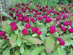 Ο αμάρανθος έχει καταγωγή από τη Νότια Αμερική αλλά πήρε την ονομασία του από την ελληνική γλώσσα και σημαίνει το λουλούδι που ποτέ δε μ...