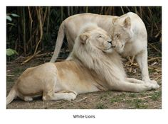Google Image Result for http://francisvfrancis.files.wordpress.com/2011/03/white-lions.jpg%3Fw%3D900