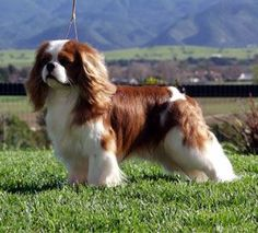I have a Cavalier King Charles Spaniel (Blenheim variety like this picture) named Rigby.