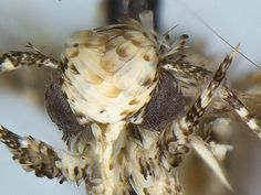 Fancy-haired new moth named for Trump