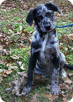 Adopt a Pet :: JuJu - York, SC - Australian Shepherd/Labrador Retriever Mix