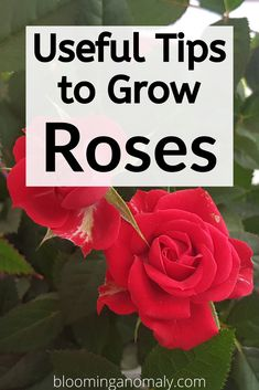 Grow roses to add color and fragrance to your garden with these beautiful blooms. Learn about the different types of roses that can grow in pots and more in this post. Click on the pin for some useful tips to grow roses. #redroses #growroses #flowers #gardening Beautiful Flowers Garden, Amazing Flowers, Gardening For Beginners, Gardening Tips, Floribunda Roses, Rose Care, Dollar Tree Decor, Types Of Roses, Rose Trees