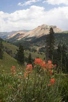 Indian paintbrush growing in the valley of the San Juan Mts region