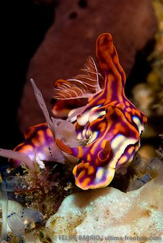 Miamira flavicostata | ©Felipe Barrio  (Komodo, Indonesia) Miamira flavicostata (Nudibranchia - Chromodorididae), formerly Ceratosoma flavicostatum [1] [2], is a beautiful sea slug native to the Western Pacific. This species usually has a broad whitish margin to the mantle and the rest of the mantle is a reddish brown or even purple with orange rounded ridges. The rhinophores usually lack white markings, but the gills are edged with opaque white lines. The front of the mantle does not have a…