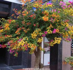 Bougainvillea tree - natureza - natural - nature - naturaleza - beauty - árvore - plantas - jardim - More