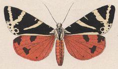Résultats Google Recherche d'images correspondant à http://idata.over-blog.com/0/04/43/94//Dessins-gravures-insectes/19-phalene-chinee.JPG