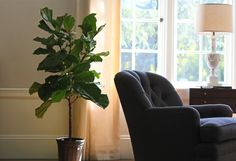 fiddle leaf fig tree growing tips and care