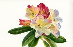 Yellow Rhododendron With White Background by Sharon Freeman - Yellow Rhododendron With White Background Painting - Yellow Rhododendron With White Background Fine Art Prints and Posters for Sale