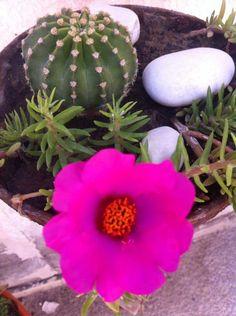 Ecchinocactus multiplex y portulaca en flor.