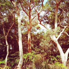 Beautiful gum trees