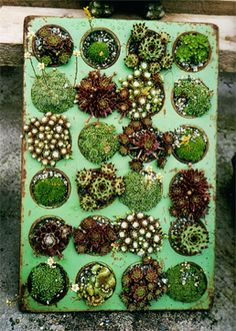 Miniature Succulent Gardens Planted In Muffin Tins