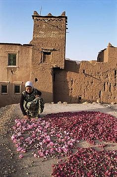 Woman spreading roses out to dry on a roof, El Kelaa des Mgouna, Morocco
