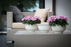 Cyclamen hybrid 'Petticoat' - Blog Multiflora