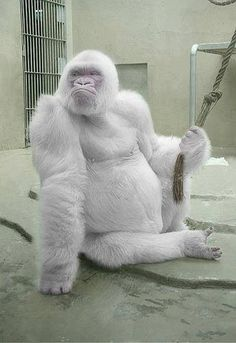 Snowflake is an albino gorilla. He is the only known albino…Snowflake Gorilla! Snowflake is an albino gorilla. He is the only known albino… Rare Albino Animals, Unusual Animals, Animals Beautiful, He's Beautiful, Absolutely Stunning, Albino Gorilla, Animals And Pets, Funny Animals, Tier Fotos