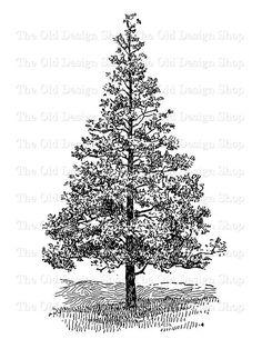 Evergreen Tree Printable Vintage Clip Art Botanical