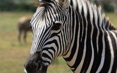 Download wallpapers 4k, zebra, close-up, wildlife, savannah, Africa, Hippotigris
