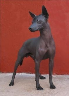 The Xoloitzcuintli or Mexican Hairless dog is the national dog of Mexico. Hairless Animals, Mexican Hairless Dog, Baby Animals, Cute Animals, Mundo Animal, Beautiful Dogs, Mans Best Friend, Belle Photo, Animal Kingdom