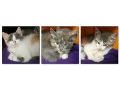 Intake: 6/12 Available: 6/18 NAME: Terra, Tina, & Tex  ANIMAL ID: 28105467-5471-5475 BREED: DMH & DSH  SEX: 2 female 1 male  EST. AGE: 7 weeks  Est Weight: 1.8-2.0 lbs  Health:  Temperament: Friendly  ADDITIONAL INFO:  RESCUE PULL FEE: FREE!!