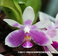 Phalaenopsis modesta is a small growing species from Borneo with white flowers covered with pink bars that meet up giving an overall pink colour. Description from orchidspecies.co.uk. I searched for this on bing.com/images