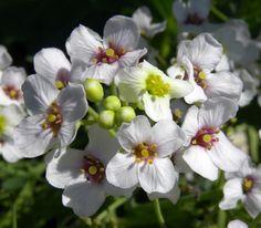 Flores brancas da Crambe maritima, conhecida como Crambe, Sea Kale, Couve do Mar. Estas foram fotografadas em Saaremaa, Estônia. A inflorescência é grande e impressionante, e as flores brancas cheias de néctar atraem uma abundância de polinizadores.  Fotografia: Wilson44691.