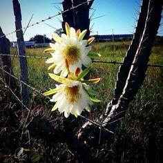 """""""Mandacaru quando fulora na seca é um sinal que a chuva chega no sertão. . . """" Ótimo final de semana  #cactos #cactus #cactosesuculentas #plantas #caatinga #biomacaatinga #natureza #tardedesol #sustentável #sustentabilidade #flordecactos #tbt by fabio07garcia http://ift.tt/27WSjgY"""