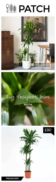 One of the best house plants for dark rooms, Rick is an indoor plant that looks great in living rooms, offices and the bedroom. Also known as the Dracaena Fragrans.  Whether inside or outside your home or office, Patch helps you choose the best plants for you, delivers them to your door and helps you look after them.  Click through to our website to transform your space into an urban garden and follow @HelloPatch on Instagram for urban gardening inspiration!