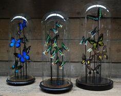 Decoratieve antieke stolp met vlinders. De stolpen en vlinders zijn in verschillende formaten en kleuren te Vlinders onder stolp. Opgzette vlinders onder antiek