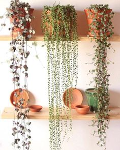 3 happy plants From left to right: Ceropegia woodii Senecio rowleyanus Peperomia pepperspot . 3 happy plants From left to right: Ceropegia woodii Senecio rowleyanus Peperomia pepperspot . House Plants Decor, Garden Plants, Inside Garden, Home And Garden, Family Garden, Plantas Indoor, Decoration Plante, Botanical Decor, Plants Are Friends