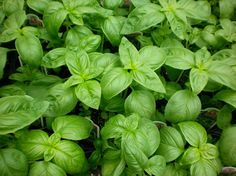 Basil..... must be planted in full sun (6 hours minimum) in a well-drained and moist soil. Pick leaves to encourage the growth and when the plant is young pick the tips for thick bushier shape. <<<<<