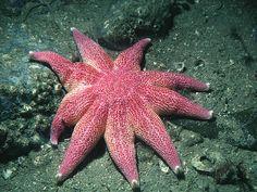 Solaster endeca, the sunstar. Photograph (C) Bernard Picton, pinned from www.habitas.org.uk
