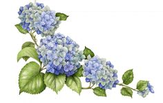 Hydrangea. From the collection of botanical illustrations of flowers by Wendy Hollender.